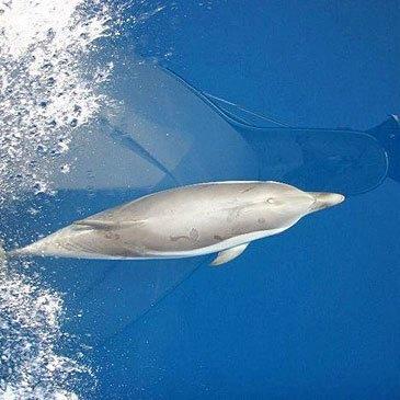 Nager avec les dauphins proche Cannes Mandelieu